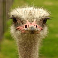 ostrich_face_fun_facts.jpg 250×250 pixels