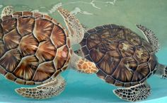 Isla Mujeres turtle farm!!! My favorite place on the planet!
