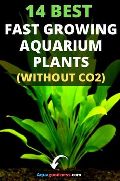 In this article, I have shared with you 14 best fast growing plants that can easily grow without This list contains freshwater aquarium plants. Most of these aquarium plants are beginner friendly… Freshwater Aquarium Plants, Tropical Fish Aquarium, Live Aquarium Plants, Saltwater Aquarium, Aquarium Fish Tank, Planted Aquarium, Fish Tanks, Aquarium Sump, Biotope Aquarium