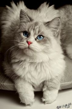 5 Long Haired Cat Breeds