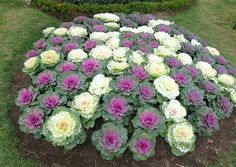 Flowering Cabbage and Kale (Brassica oleracea) Lavender Flowers, Fall Flowers, Yellow Flowers, Zinnias, Pansies, Garden Stand, How To Grow Taller, Warm Autumn, Bricolage