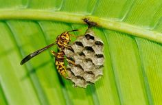 Paper Wasp Polistes sp adult on nest under Palm Frond Rio Grande Valley, Texas.