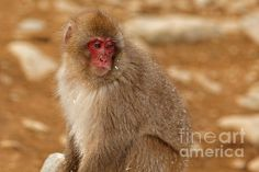 A juvenile snow monkey or Japanese macaque stops on a path to look around and contemplate his next move.
