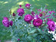 Best purple rose
