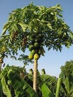 Grow papaya trees - edible fruit AND seeds