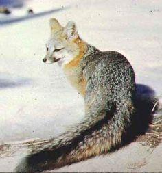 Gray Fox - Bing Images
