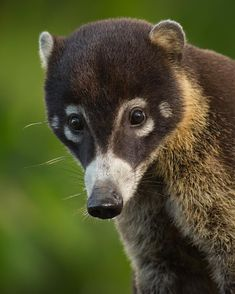 @jessfindlay • A White-nosed Coati photographed in Costa Rica's Caribbean Lowlands • This raccoon-like omnivore is found from northern Colombia to the Sonoran Desert of the American Southwest.
