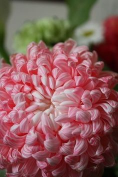 pink chrysanthemum <3 / Chrysanthemums, sometimes called mums or chrysanths, are flowering plants of the genus Chrysanthemum in the family Asteraceae. They are native to Asia and northeastern Europe. Most species originate from East Asia and the center of diversity is in China. There are about 40 valid species. There are countless horticultural varieties and cultivars.