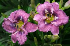 the Lily Auction - #1 Daylily Marketplace on the Internet