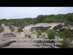 Video text: Assateague Island Habitats, description (can also be used with Assateague paragraphs from Text Structure Centers)