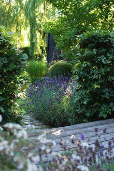 Lavendel, Lavandula angustifolia 'Hidcote Blue'