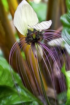 goes by the names of Black Bat Flower, Bat-head Lily, Devil Flower or Cat's Whiskers. Tacca integrifolia is known as the Purple or White Bat Flower. Unusual Flowers, Unusual Plants, Rare Flowers, Amazing Flowers, Beautiful Flowers, Orchid Flowers, Exotic Plants, Strange Flowers, Simply Beautiful
