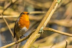 Sing for your Supper! by MartinAndrewEagle #animals #animal #pet #pets #animales #animallovers #photooftheday #amazing #picoftheday