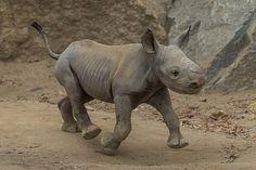 Critically Endangered #Rhino Calf Born at San Diego Zoo Safari Park. Lembe's little boy is so precious. <3