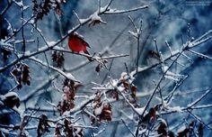 Snow Cardinal.  Jack Corn Photography