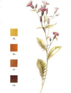 Natural dyeing: Saw-Wort - Serratula tinctoria