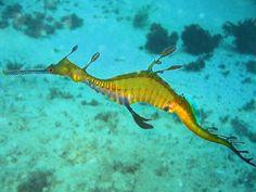 Animais da Australia - Dragão-marinho-comum