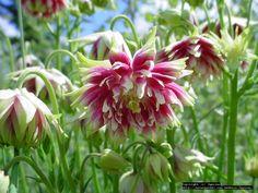 Bloom for April 4, 2013: Clematis-flowered Columbine 'Nora Barlow' (Aquilegia vulgaris var. stellata) photo by Jgaiser.