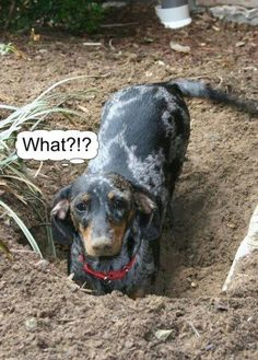 Hmmmm.... Such a Doxie thing to do.