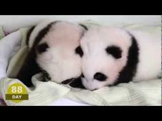 The first 100 Days of Mei Lun and Mei Huan.   I would love them and hug them and call them George.