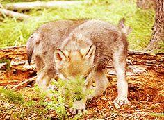 brown wolf cute wolf gif