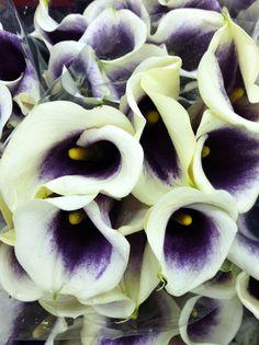 Vermeer Calla Lilies
