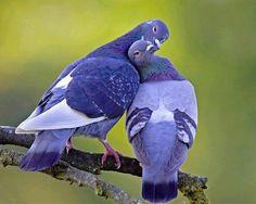 Pigeon Couple Love Mood #photos, #bestofpinterest, #greatshots, https://facebook.com/apps/application.php?id=106186096099420