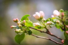 #Spring #Blossoming #Apple-tree