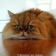 Tussetroll and Tingeling: Fluffy Cats Find Mischief in Norway Best Cat Breeds, National Animal, Owning A Cat, Scottish Fold, Cat Facts, Fluffy Cat, Cool Cats, Kittens Cutest, Norway