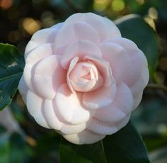 Another Chanel style camellia