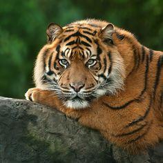 "beautiful-wildlife: "" Tiger by Wendy """