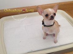 Chihuahuas Love - Chihuahuas Limpios. Como Tener un Chihuahua Limpio.