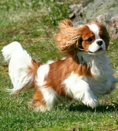 They really are the most beautiful breed of all dogs - Cavaliers <3 I just love these little doggies.