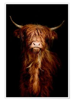 Scottish highland cattle at Posterlounge ✔ Affordable shipping ✔ Secure payment ✔ Various materials & sizes ✔ Buy your print now! Highland Cow Art, Scottish Highland Cow, Highland Cattle, Scottish Highlands, Highland Cow Painting, Cute Baby Cow, Baby Cows, Cute Cows, Baby Elephants