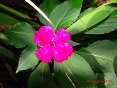 flor maria sem vergonha