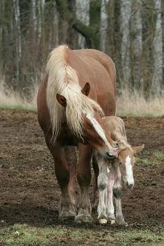 Draft horses - New Arrival Belgian mare and foal. Baby Horses, Horses And Dogs, Draft Horses, Wild Horses, Animals And Pets, Baby Animals, Cute Animals, All The Pretty Horses, Beautiful Horses