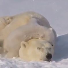 Cute Wild Animals, Cute Little Animals, Cute Funny Animals, Cute Dogs, Baby Polar Bears, Cute Polar Bear, Panda Bears, Funny Animal Jokes, Funny Animal Pictures