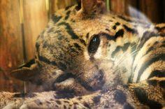 jaguar rescue center ocelot   - Costa Rica