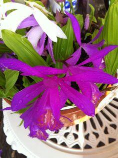 Pleione orchids