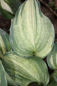 H. 'Ghost Spirit' is a sport of H. 'Valentine Lace'.  It grows as a mound with blue-green misted leaves with a small margin of the blue-green along the leaf edge. This hosta grows to about 20 inches high and twice that size in width. The leaves are heart-shaped and will have a seasonal color change.