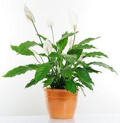 Zimmerpflanzen für dunkle Räume: Einblatt (Spathiphyllum)