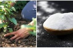 See How Baking Soda Can Be Incredibly Useful To Your Garden Or Flowers - Today News Online Baking Soda Benefits, Baking Soda Uses, Comment Planter, Sodium Bicarbonate, Plantation, Permaculture, Fungi, Vegetable Garden, Health Benefits