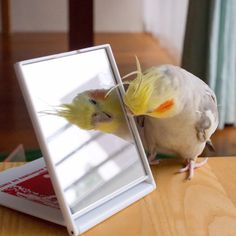 """""""Hey good looking!"""" A cockatiel checking himself out in a mirror."""