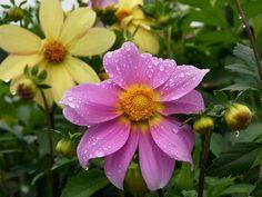 Rain water drops on a flowers in a garden in New Delhi on Friday.