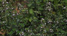 Sustainably growing thyme | Sustainable Gardening Australia