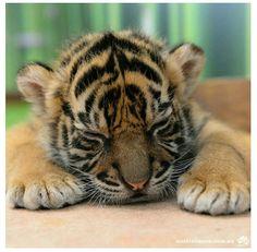 Sleepy tiger cub