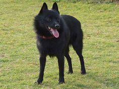 Schipperke Information - Dog Breeds at thepetowners Smartest Dog Breeds, Rare Dog Breeds, Dog Breeds List, Puppy Breeds, Best Small Dog Breeds, Best Small Dogs, Best Dogs, Great Danes, Dog Breed Quiz