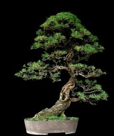 Picture of Robert Steven in Facebook Group's Indonesian Bonsai Society PPBI.