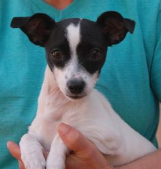 Dixie is a precious baby girl, a Chihuahua & Italian Greyhound mix puppy, debuting for adoption today at Nevada SPCA (www.nevadaspca.org).  She is peppy and fun-loving, eager to play with dogs and bond with people.  Dixie is about 4 months of age and now spayed.  Her previous owners say she is already mostly housetrained.  They surrendered her to us because they said they moved into a living situation where dogs are not allowed.