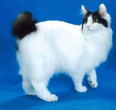 japanese bobtail - I miss my Kazzy! Gato Bobtail, Kittens Cutest, Cats And Kittens, Japanese Bobtail, Domestic Cat, Cat Breeds, Cat Life, Cool Cats, Kitty